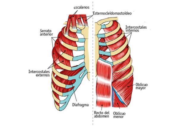 musculos-respiracion